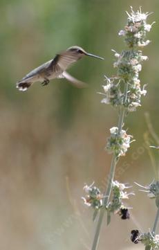 A Hmmingbird on Salvia apiana compacta - grid24_6