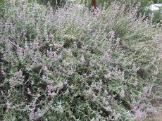 This Purple Sage was about 30 years old when this picture was taken. Purple sage is a common sage in the Los Angeles area. - grid24_6