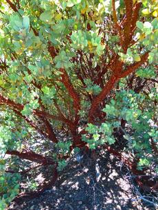 Arctostaphylos hooveri Hoovers Manzanita grwoing on top of the Big Sur mountains. - grid24_6