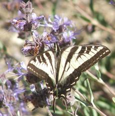 A Swallowtail Butterfly on a Salvia Pozo Blue. California native plants attract California native  wildlife to your garden. - grid24_6