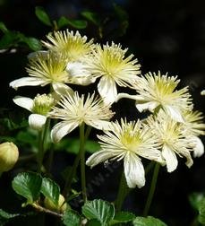 These Clematis were growing along the trail on top of Cuesta Ridge.climbing over Cercocarpus betuloides. - grid24_6