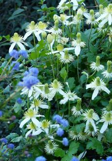Clematis lasthania climbing on Ceanothus. In the coastal valleys of Santa Barbara and Los Angeles this vine can cover a hundred ft.  of fences. - grid24_6