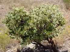 Here is a 10 year old Los Angeles manzanita. The original plant was along Kanan Rd. and was only 3 feet tall. - grid24_6