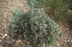 Arctostaphylos glandulosa adamsii makes a little gray bush that can be used as a ground cover. - grid24_6