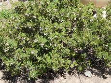 Here is a 7 or 8 year old Arctostaphylos crustacea subsp. eastwoodiana with no extra water. It grows to about 30 inches high and 5 foot wide. - grid24_6