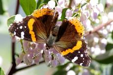 A Red Admiral Butterfly on Arctostaphylos Austin Griffin - grid24_6