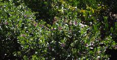 Arctostaphylos refugioensis is a nice large groundcover  or small bush manzanita. - grid24_6