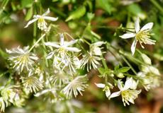 The Clematis flowers are delicate and spread all over the vine as they crawl along your fence or trellis. - grid24_6