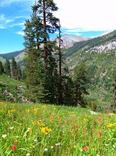 Wildflowers in mountain scree at 7500 ft, in Mineral King - grid24_6
