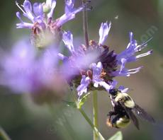 Bombus crotchii, Orange rump bumblebee pollinating a Salvia clevelandii Alpine. - grid24_6