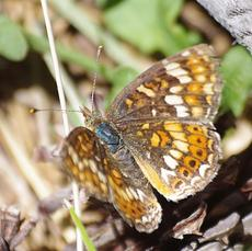 Sierra butterfly - California CrescentPhyciodes orseis - grid24_6