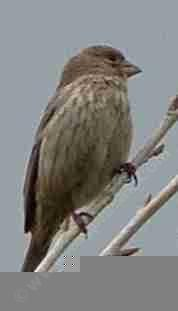 A female house finch. These birds seem to be without a brain.They will peck one small in every fruit you have.  - grid24_6