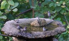 These little hummingbirds will do this some summer mornings for 15 or so minutes. I've seen them do this in puddles are at the birdbath. - grid24_6