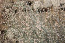 Long-stem Buckwheat makes amazing dried flower bouquets.  - grid24_6