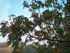 Acer macrophyllum, Big Leaf Maple with fall color in seeds. - grid24_6