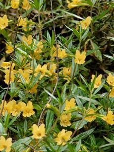 The sticky monkey flower - grid24_6