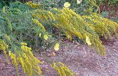 California Goldenrod is native on the Santa Margarita nursery site. It grows on a north slope in red clay and in most gravel. - grid24_6