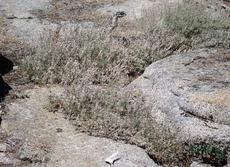 Wright's Buckwheat growing between granite at 7500 ft in the Sierras. It also grows fine in our garden as a little ground cover. - grid24_6