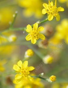 Here are the Matchweed flowers. It will be in flower in summer in the most barren areas of low rainfall. - grid24_6