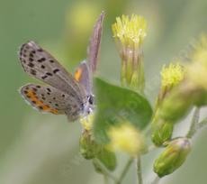 Acmon Blue, Plebejus acmon on Brickellia californica - grid24_6