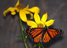 Monarch butterfly on a Bidens. You too can enjoy native plants like this! - grid24_6