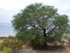 Here is Acacia greggii out in the desert.