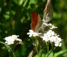 A couple of little Ruddy Copper Butterflies on Yarrow - grid24_6
