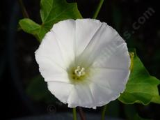 Calystegia purpurata Purplish Morning Glory