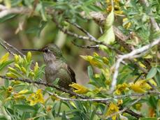 A hummingbird takes a break from the Isomeris flowers - grid24_6