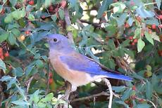 Western Bluebird in the Mahonia nevinii - grid24_6