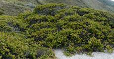 Arctostaphylos cruzensis south of Los Osos.  - grid24_6