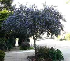 Ceanothus Ray Hartman as street tree in Northern California. Where it's cool in the sumer this works. - grid24_6