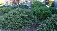 Arctostaphylos John Dourley as a mounding ground cover. shown here at Cal Poly San Luis Obispo. - grid24_6