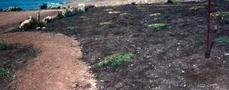 What the coastal bluff looked like at planting in 1984. This was a cow pasture that we restored. - grid24_6