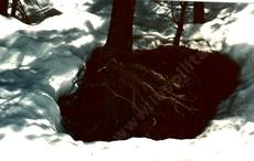 The tree roots in early spring seem to warm and melt the snow. - grid24_6