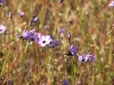 Gilia tenuiflora grows in one of our fields. Filaree is replacing it. - grid24_6