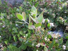 Arctostapyhlos cruzensis doing fine in a Cambria Garden. - grid24_6