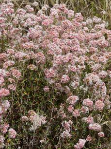 Cliff buckwheat can be showy and hold it's flowers for months. - grid24_6