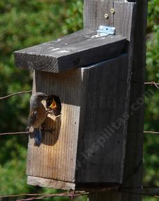 A Western Bluebird feeding young in a nesting box at Las Pilitas Nursery - grid24_6