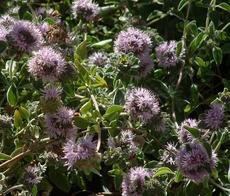 Coyote Mint, Monardella villosa flowers. - grid24_6