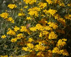 Eriophyllum confertiflorum,  Golden yarrow.  - grid24_6