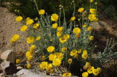 Baileya multiradiata, Desert marigold in flower. - grid24_6