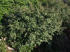 Rhamnus californica, Eve Case coffeeberry in a conventional shopping center garden.