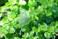 Satureja douglasii, Yerba Buena makes a great little fragrant groundcover. - grid24_6