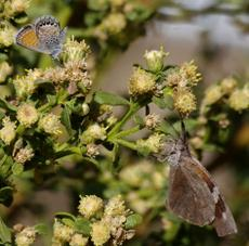 Baccharis pilularis consanguinea, Coyote Brush flowers with a Western Pygmy Blue and an American Snout Butterfly.