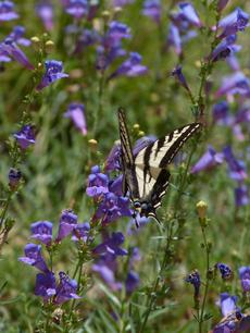 Our Penstemon 'Margarita BOP' with a swallowtail butterfly - grid24_6