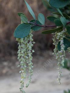 Garrya flavescens pallida Pale Ashy Silk-tassel Bush with the male flowers  (catkins)