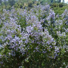 Ceanothus L.T. Blue, Mountain Lilac is a very drought tolerant Mountain Lilac. - grid24_6