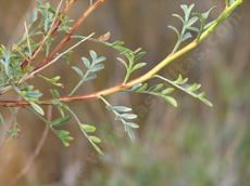 Psorothamnus arborescens simplicifolius, California Indigo Bush leaves