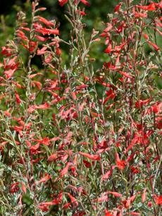 California Fuchsia, Zauschneria californica mexicana ( or Epilobium cana) - grid24_6